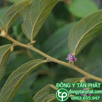 Công ty chuyên cung cấp mua bán cây an xoa tại Quảng Bình