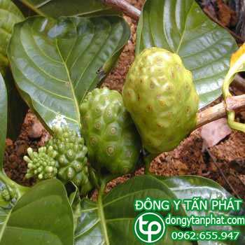 Công ty chuyên cung cấp mua bán trái nhàu tại Ninh Bình
