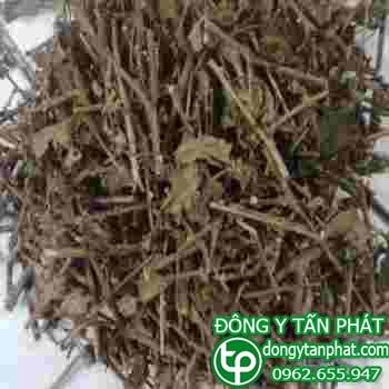 Địa điểm phân phối cà gai leo tại Ninh Thuận chất lượng