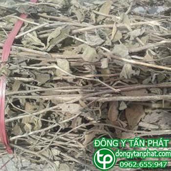 Nơi cung cấp cây an xoa tại Phú Thọ uy tín