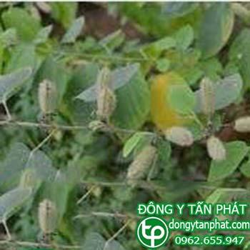 Ở đâu bán cây an xoa tại Phú Thọ giá tốt???